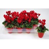 Gardening Express - Miniature Red Cyclamen Plants