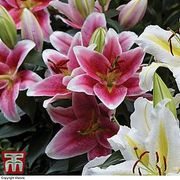Get Your Lily Bulbs Planted in April for Summer Flowering! £5 off Deal.