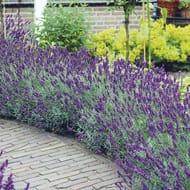 FREE 40x Lavender Plants worth £27.95 (£5.95 P&P)