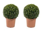 Great Discount on Buxus Balls Only for £5 at Homebase