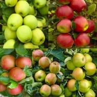 Multi Variety Apple Tree (5 Varities on One Tree) save £30