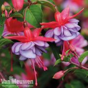 5 Fuchsia 'Icing Sugar' Plug Plants & Packet Seeds - 69p Delivered