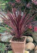 Cordyline Red Star Supplied in Pot 2ltr Instore Only