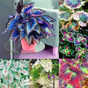 Multi-Color Leaf Grass Seeds Fragrant Blooms Flower