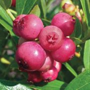 Blueberry Pink Lemonade Plants for the Patio or Garden - Pack of THREE