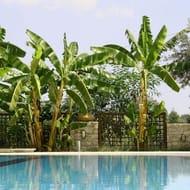 3 Japanese Banana Trees