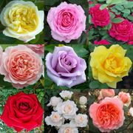 6 Premium English Rose Plants
