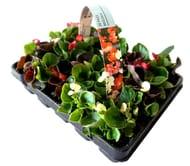 20 Pack of Summer Bedding Plants