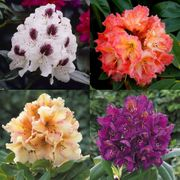 3 Large Flowering Rhododendron Plants
