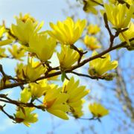 Large 4ft Magnolia Sun Spire - Tulip Tree
