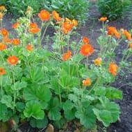Geum Borisii - Tangerine Avens in Bud