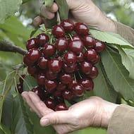 Stella Cherry Bare Root Trees (Pair)