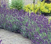 40 Free Lavender Plants Just Pay Postage