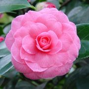 Camellia japonica Pink Perfection Only £7.95