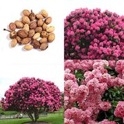 Giant Pink Sakura Tree Seeds 30% off + Free Delivery