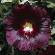 Perennial Hollyhock Alcea Nigra Plant in Pot
