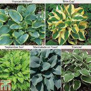 Free Hosta Collection Just Pay Postage