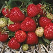 Free 10 Strawberry Plants Just Pay Postage £5.95
