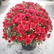 Chrysanthemum Seeds 80% off + Free Delivery