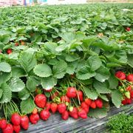 50 Pcs/Pack Perennial Bonsai Outdoor Strawberry Seeds