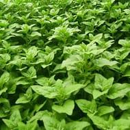 Meihet New Zealand Spinach Seeds Tetragonia
