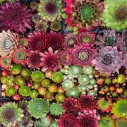 Cheap Pack of 12 Hardy Succulent Plants Only £17.79!