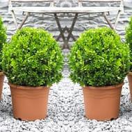 PAIR of Topiary Buxus