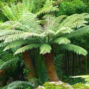 Available from *19/08/20 These '2ft, 20yr Old, Tree Fern' S Will Go Quickly!