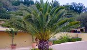 1 or 2 Canary Island Palm Trees + EXTRA 10% Off