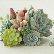 Indoor Succulents Mix Down From £14.99 to £9.99