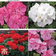 24 Geranium Plug Plants ONLY £4.99! plus Postage