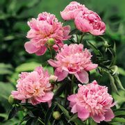 Giant Peony from You Garden @MailShop - Free ! (£6.99 P&P)