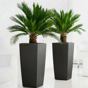 Pair of King Sago Palm Trees with Flared Black Planters - Only £59.95!