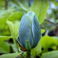 Cheap Magnolia Acuminata Blue Baby at Gardening Express