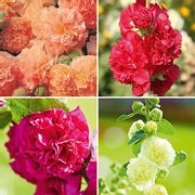 Hollyhock Chaters Double Mix Plants - Only £6.99!
