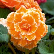 Begonia Tuber Plants - Expresso Sugardip Apricot