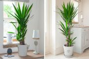Get a Two or Three-Stem Yucca Plant from £19.99