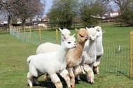 Warwickshire Alpaca Walk & Farm Entry 2 Adults + 2 Children £22.33 Use Code