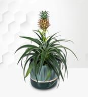 Beautiful Pineapple Plant plus Free Chocolates